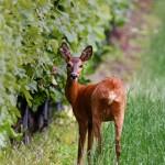 chevreuil vigne